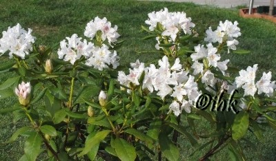 Alpenrose-Rhododendron